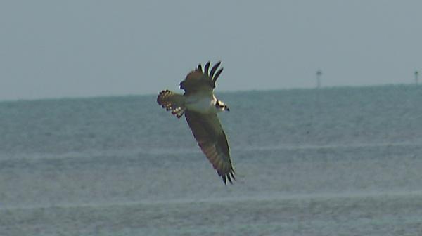 Florida Keys - Osprey by TedBraid