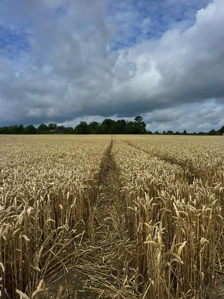 corn field by pluckyfilly