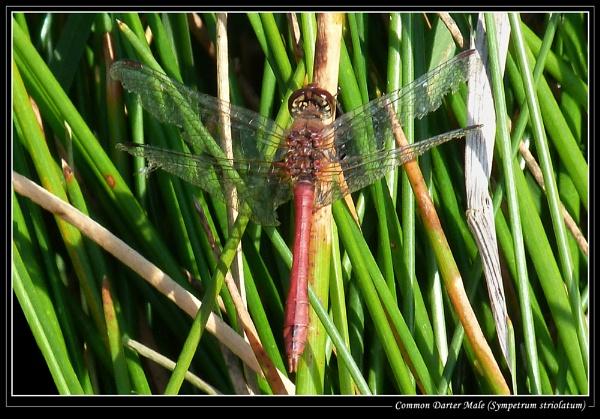Common Darter Male (Sympetrum striolatum) by Ray42
