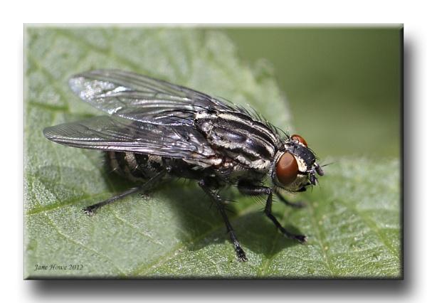Flesh Fly (Sarcophaga carnaria) by Snapitt