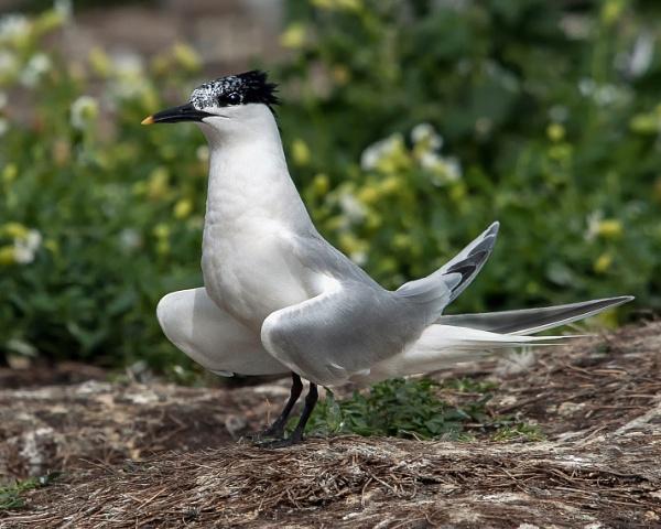 Sandwich Tern by hasslebladuk