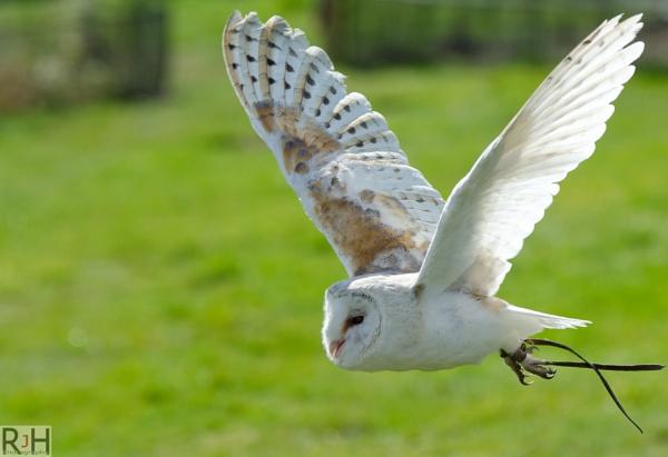 Barn Owl by Rikeard