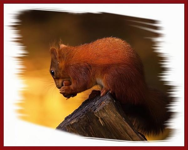 Hazel nut by Geordie_Rooster
