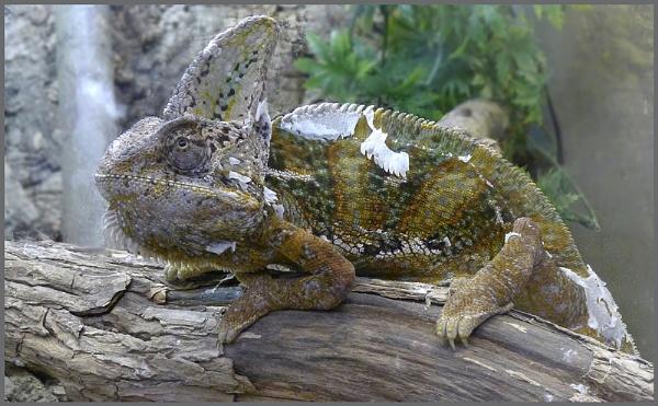 Chameleon by f8