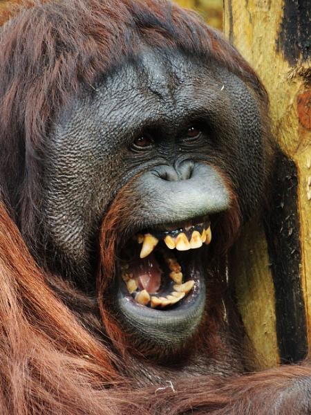Orangutan by kathrynlouise
