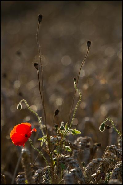 Evening Poppy by PhilSingleton