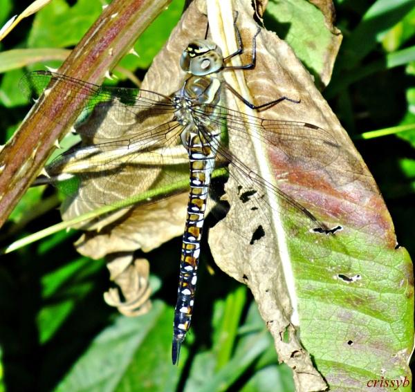 Dragonfly by crissyb