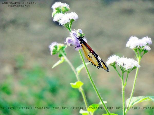 Beauty Butterflies.. by abhi2306