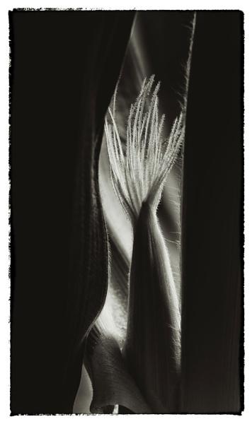 Sweetcorn by KenTaylor