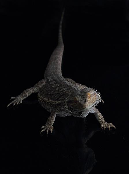 Bearded Dragon by firzhugh