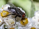 Blowfly by BobEH