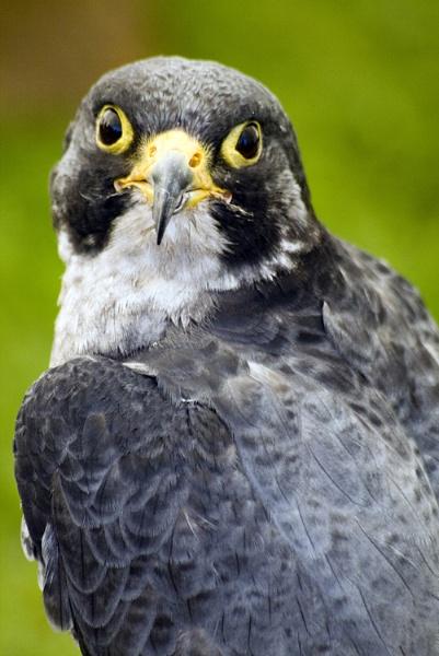 Bird of Prey by PaulSR