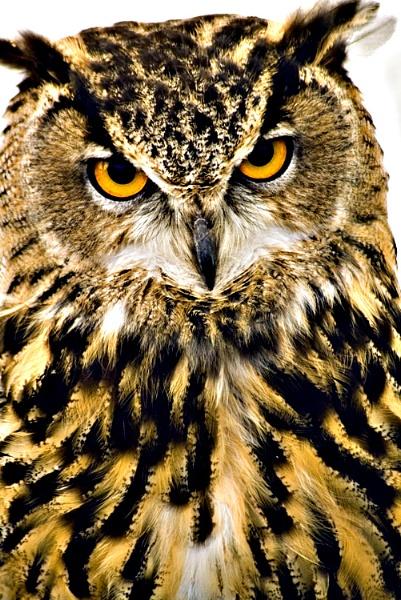 Owl by PaulSR
