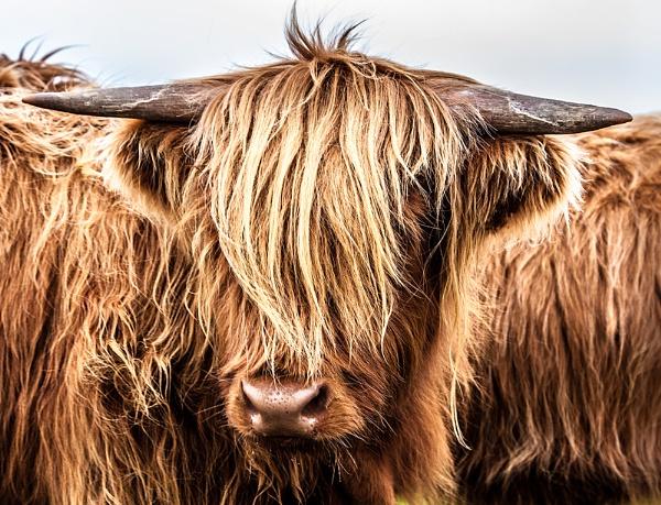Hairy Coo by John_Frid