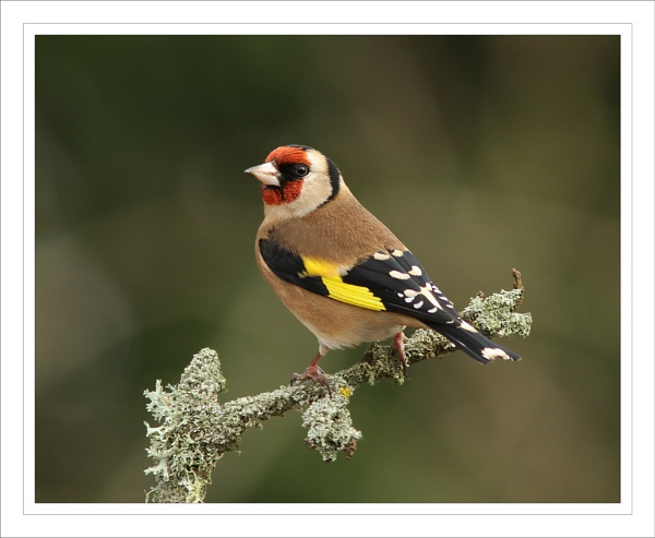 Just a Goldfinch. by Graham_P