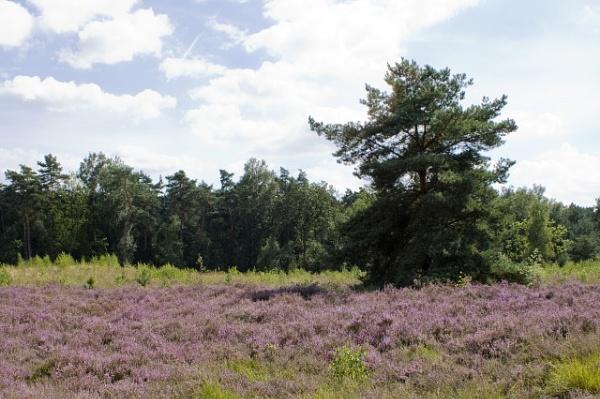 Purple by lionking