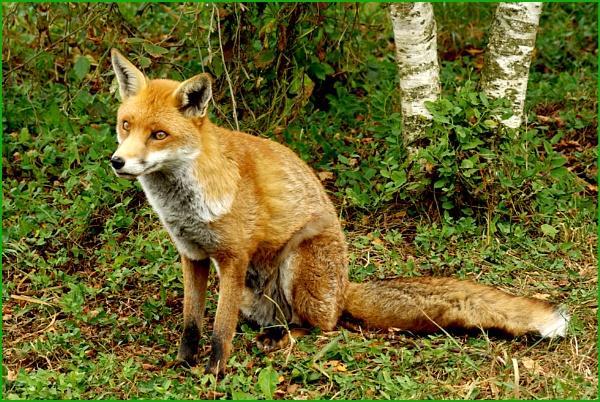 Fox - Vulpes vulpes 01. by Badgerfred