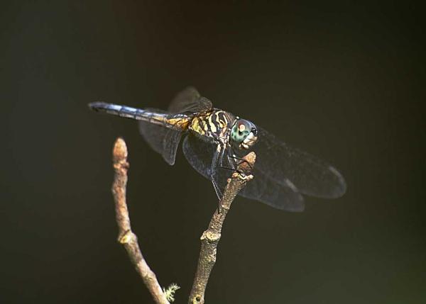 Dragonfly by wsteffey
