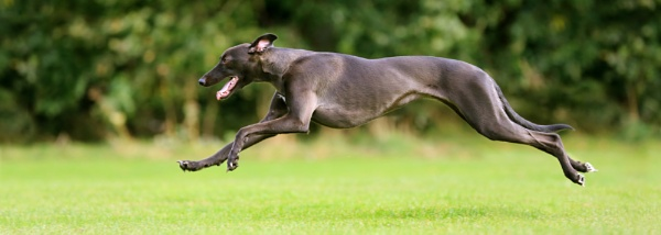 Whippet.. by SurreyHillsMan