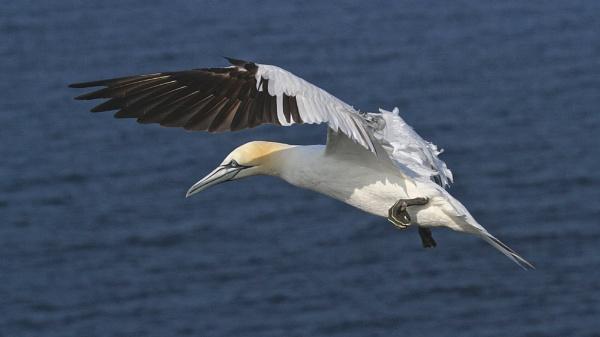 Gannet Flight by altosaxman
