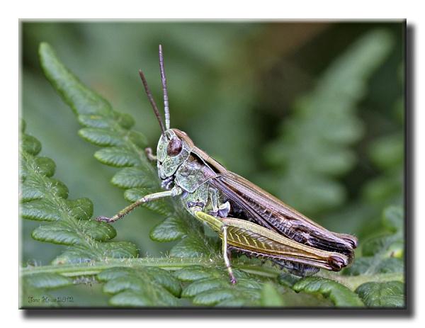 Field Grasshopper by Snapitt