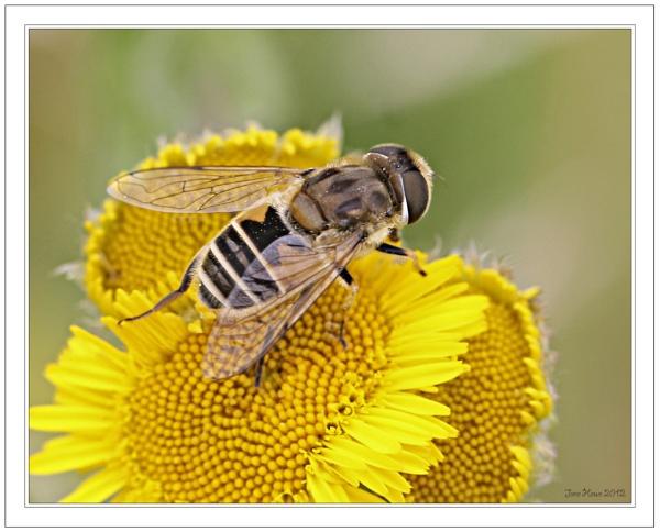 Hoverfly (Eristalis tenax) on Fleabane by Snapitt