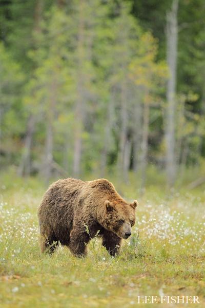 EUROPEAN BROWN BEAR by LeeFisher