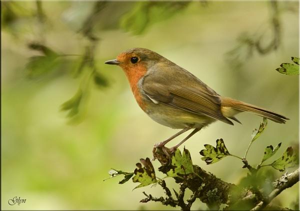 Perky Robin by Glyn1