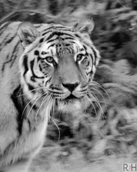 Tigerflage!! by Rikeard