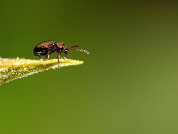 Leaf Beetle by Metro6R4