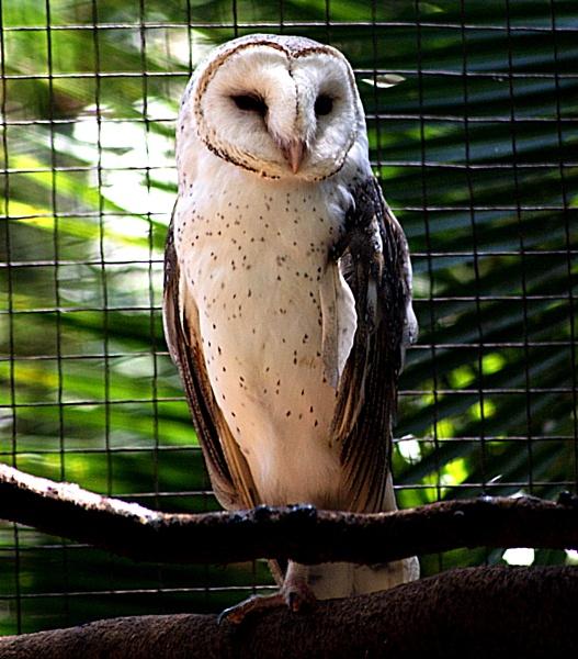 Barn Owl by JoDraper
