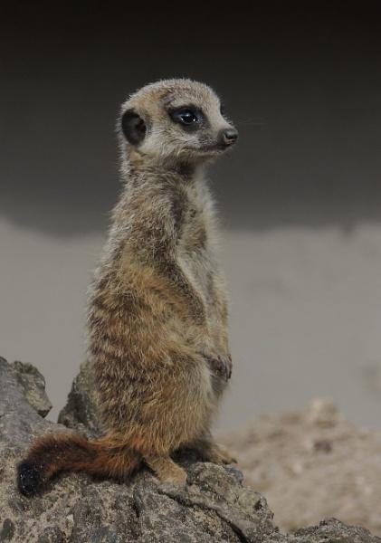 Baby Meerkat by kathrynlouise