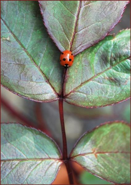 Ladybird by jinglis