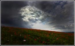 Poppies under dark skies