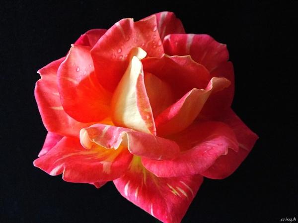 ROSE by crissyb