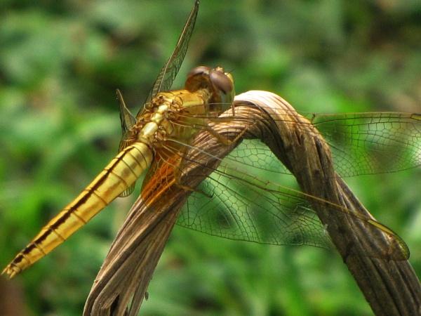 GolDragon Fly..... by Dibyajit