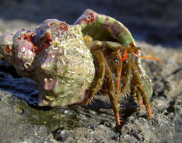 Hermit Crab by Philpot