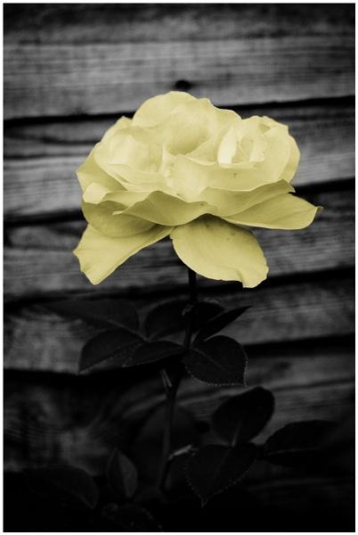 Rose by EwaG