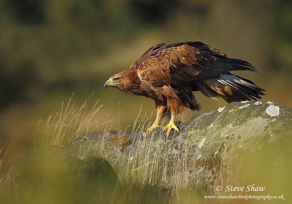 Golden eagle (C) by Steve_S