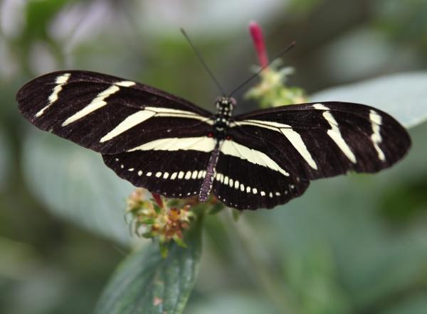 Zebra Longwing Butterfly by nsutcliffe