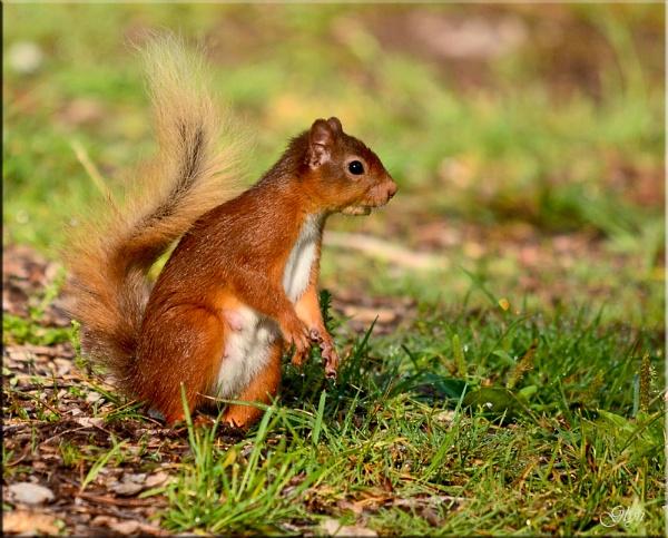 Red Squirrel by Glyn1