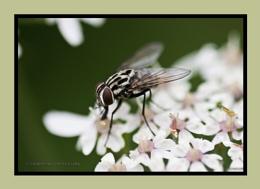 Cluster-fly (Pollenia rudis)