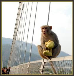 Angry Monkey,,,