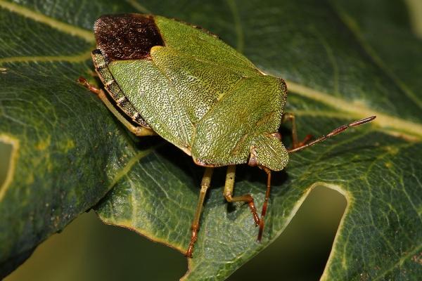 Green Shield Bug Palomena prasina by Metro6R4