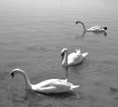 Swans in Devon