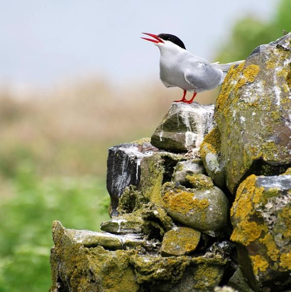 Farne Island Tern by jinglis