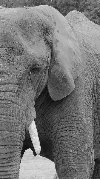 Elephant No.1 by SH87