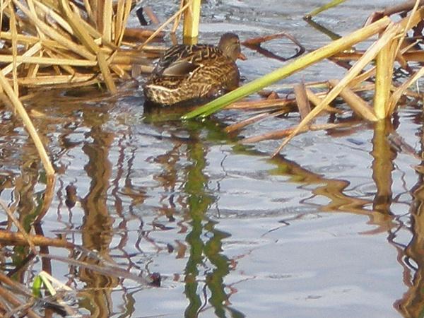 Duck nap by maryspics