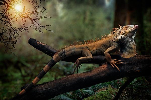 Iguana by Bzox