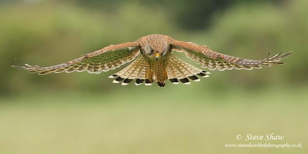 Hovering kestrel by Steve_S